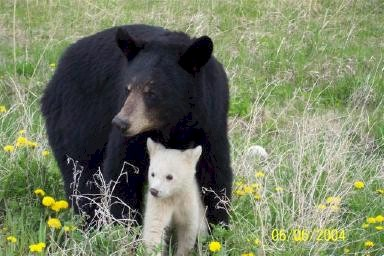 Momma black bear with white cub